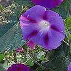 Ipomoea purpurea  cемян