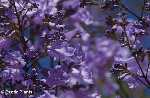 Jacaranda mimosaefolia blue Jacaranda tree seeds