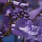 Jacaranda mimosaefolia ?rbol de jacarand? azul semillas