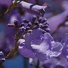 Jacaranda mimosaefolia Jacarandabaum - Palisanderbaum - blaues Bl?tenwunder Samen