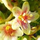 Jatropha mahafalensis