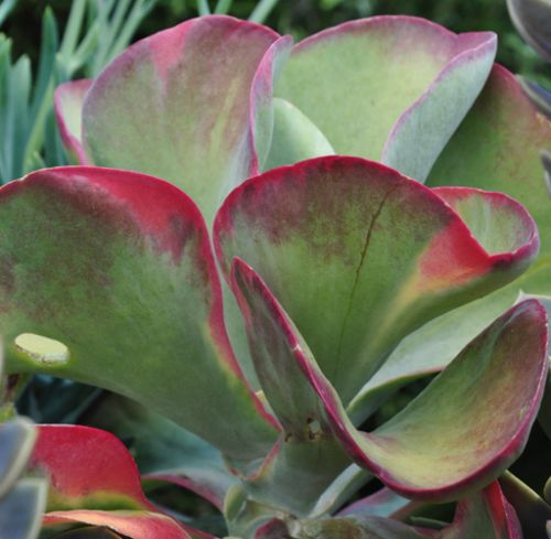 Kalanchoe thyrsiflora Flapjacks - Northern White Lady - Paddle Plant seeds