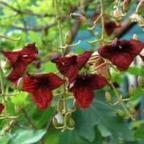 Kigelia africana Kigelia cемян
