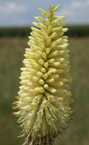 Kniphofia albescens Red hot poker - Torch lily - Poker plant seeds