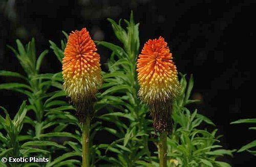 Kniphofia linearifolia common marsh poker seeds