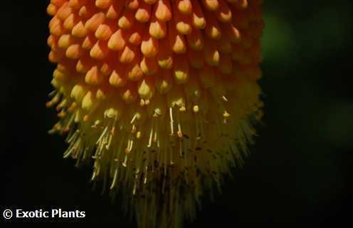 Kniphofia linearifolia common marsh poker seeds
