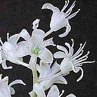 Lachenalia angelica piante bulbosus semi