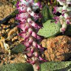 Lachenalia carnosa Hyazinthe Samen