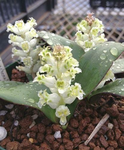 Lachenalia congesta hyacinth seeds
