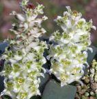 Lachenalia congesta piante bulbosus semi