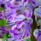 Lachenalia purpureo-caerulea  semillas
