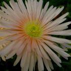 Lampranthus argenteus  semillas