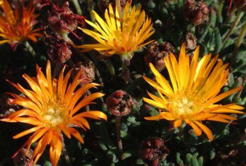 Lampranthus bicolor Aizoaceae seeds