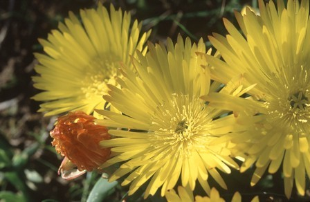 Lampranthus glaucus Noon Flower - Ice Plant seeds