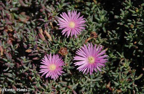 Lampranthus roseus succulent seeds
