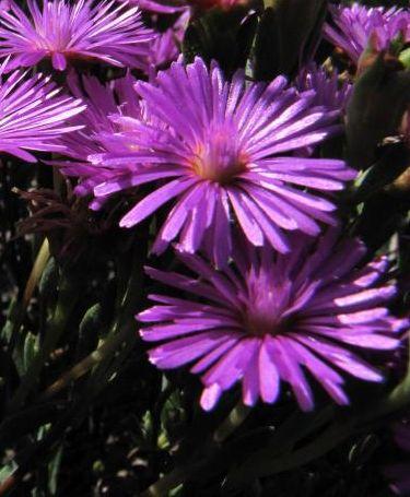 Lampranthus stipulaceus Ice Plant seeds