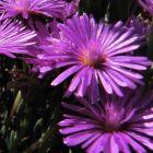 Lampranthus stipulaceus  semillas