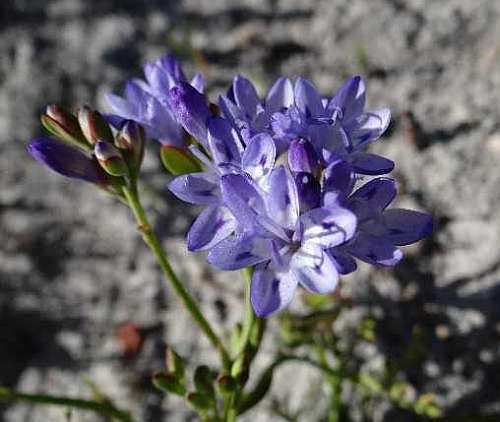 Lapeirousia corymbosa blue cabong seeds