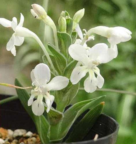 Lapeirousia pyramidalis ssp pyramidalis Lapeirousia seeds