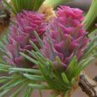 Larix gmelinii  semillas