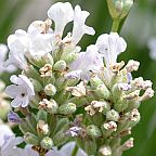 Lavandula angustifolia Alba  semi