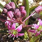 Ledebouria marginata  cемян