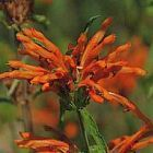 Leonotis leonurus Queue de lion graines