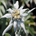 Leontopodium alpinum Edelweiss Steingarten Samen