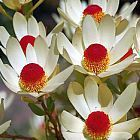Leucadendron discolor  cемян