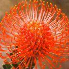 Leucospermum cordifolium orange Leucospermum Samen
