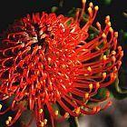 Leucospermum cordifolium Леукоспермум (белосемянник) сердцелистный  cемян