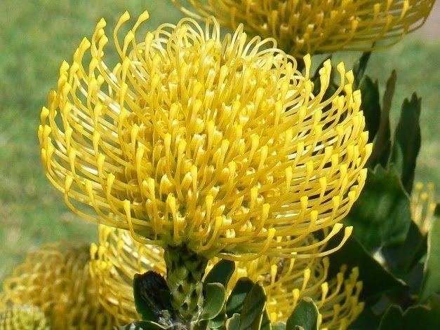 Leucospermum cuneiforme Wart-stemmed Pincushion seeds
