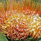 Leucospermum erubescens Nadelkissen Samen