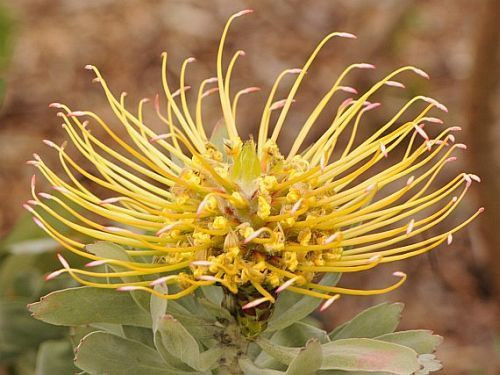 Leucospermum formosum silver-leaf wheel-pincushion seeds