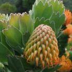 Leucospermum patersonii