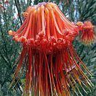 Leucospermum reflexum red  cемян