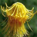 Leucospermum reflexum var luteum Nadelkissen Samen