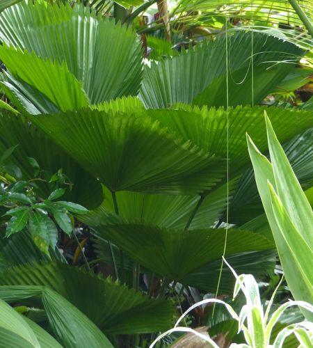 Licuala grandis Licuala palm seeds