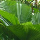 Licuala grandis Licuala ? grosses feuilles graines