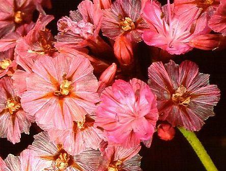 Limonium perigrinum Sea lavender seeds