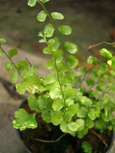 Lindsaea orbiculata fern seeds