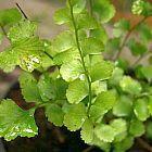 Lindsaea orbiculata  cемян