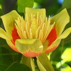 Liriodendron tulipifera Tulpenbaum Samen
