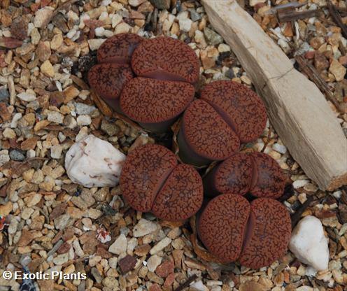 Lithops aucampiae koelemanii Lithops seeds