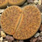 Lithops bromfieldii v. glaudinae lebender Stein - Mesembs - C116 Samen