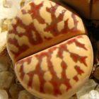 Lithops dorotheae Lithops - C124 Samen