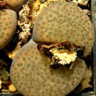 Lithops fulviceps v. fulviceps Mesembs Samen
