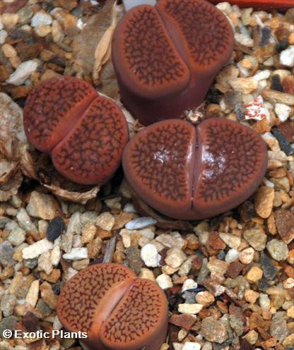 Lithops hookeri Lithops seeds