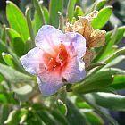Lobostemon fruticosus arbusto pijama semillas
