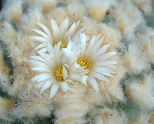 Lophophora diffusa Peyote - San Pedro Cactus seeds